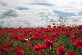 Beautiful wild poppies — Stock Photo