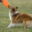 Stock Photo: Sheltie playing frizbee
