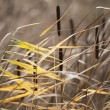 Reeds — Stock Photo #39852969