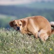Pooping dog — Stock Photo #39858441