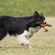 Border collie running — Stock Photo