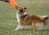 Sheltie playing frizbee — Stock Photo