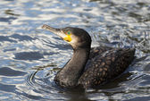 Cormorant looking — Stock Photo
