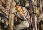 Dry corn — Stock Photo