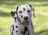 Dalmatian portrait — Stock Photo
