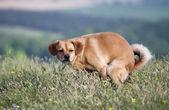 Pooping dog — Stock Photo