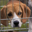 Beagle — Stock Photo #39862791