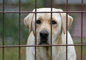 Labrador behind fence — Stock Photo