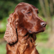 Stock Photo: Beautiful Irish Setter