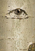 Tree bark with eye pattern — Stock Photo