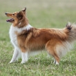 Stock Photo: Beautiful Sheltie