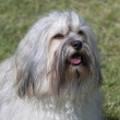 Havanese portrait — Stock Photo #39955589