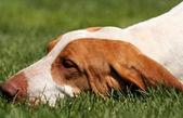 Foxhound — Stock Photo