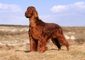 Beautiful Irish Setter — Stock Photo