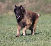 Tervueren dog running — Stock Photo