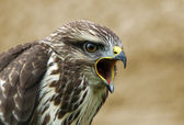 Screaming buzzard — Stock Photo