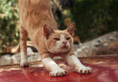 Red cat stretching — Stock Photo