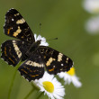Black map butterfly — Stock Photo