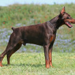 Dobermann — Stock Photo