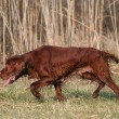 Stock Photo: Irish Red Setter