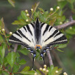 Scarce Swallowtail — Stock Photo #39998655