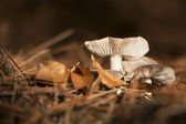 Small mushroom — Stock Photo