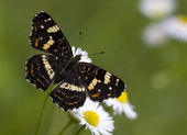 Black map butterfly — Stock fotografie