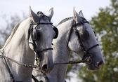 White horse pair — Stock Photo