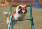 Jumping collie — Zdjęcie stockowe