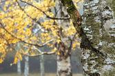 Autumn birch trees — Stock Photo