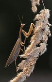 Mantis — Stockfoto