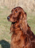 Irish Red Setter — Stock Photo