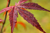 Autumn palmatum — Foto de Stock