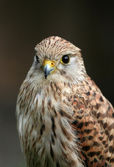 Kestrel portrait — Stock Photo