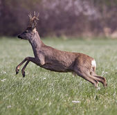 Roe deer jumping — Stockfoto