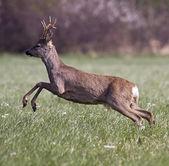Roe deer jumping — Stok fotoğraf