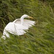 Great White Egret — Stock Photo #40020603