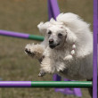 Stock Photo: Agility dog