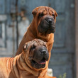 Stock Photo: Shar pei puppies
