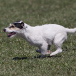 Stock Photo: Speedy dog