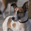 Jack russel terrier — Stock Photo #40237339