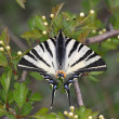 Scarce Swallowtail — Stock Photo #40237893