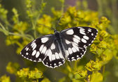 Marbled butterfly — Stock Photo