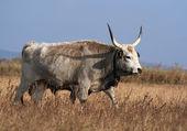 Bovini grigi ungheresi — Foto Stock