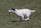 Speedy dog — Stock Photo