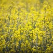 Rape field — Stock Photo #40241565