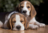 Beagle puppy sleeping — Stock Photo