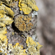 Stock Photo: Yellow lichen