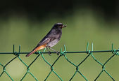Black Redstart bird — 图库照片