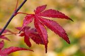Autumn palmatum — Stock Photo